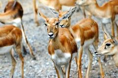 Herd of Nyalas. Baby nyalas in a natural park in thailand Stock Photography