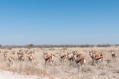 Free Herd Of A Springbok, Antidorcas Marsupial Royalty Free Stock Image - 97748436