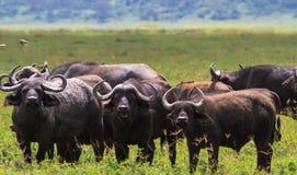 Free Herd Of African Buffalos Close Up. Volcano NgoroNgoro, Tanzania Royalty Free Stock Photography - 109476037
