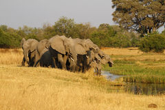 Herd Of African Elephants Drinking Royalty Free Stock Photos