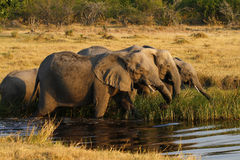 Herd Of African Elephants Drinking Stock Images