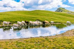 Free Herd Of Animals Drinking Water From A Pond. Royalty Free Stock Photos - 161666298