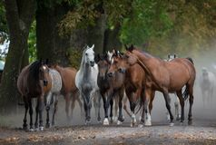 Free Herd Of Arabian Horses On The Autumn Village Road Stock Images - 139189714