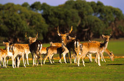 Free Herd Of Axis Deer Royalty Free Stock Images - 12760959