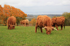 Herd Of Beautiful Highland Cows Stock Photos