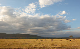 Free Herd Of Blue Wildebeest (Connochaetes Taurinus) Royalty Free Stock Photography - 14282857