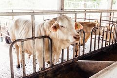 Free Herd Of Cows Close-up On American Thai Brahman Cows That Standing In Cowshed On Dairy Farm. Agriculture Industry. Stock Photos - 155331793
