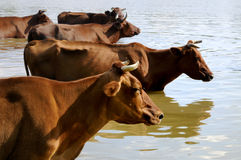 Herd Of Cows On Water Royalty Free Stock Images