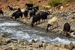 Free Herd Of Domestic Sheep And Goat Drinking Water Royalty Free Stock Images - 160708739