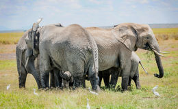 Free Herd Of Elephants Protecting  Baby Elephant In Kenya, Africa Royalty Free Stock Photography - 72136707