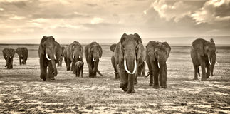 Free Herd Of Elephants Walking Group On The African Savannah At Photographer Royalty Free Stock Photography - 69897147