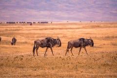 Free Herd Of Gnus And Wildebeests In The Ngorongoro Crater National Park, Wildlife Safari In Tanzania, Africa Stock Photo - 200020790
