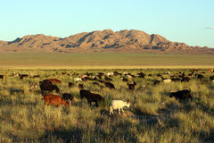Herd Of Goats In Mongolian Prairie Royalty Free Stock Photography