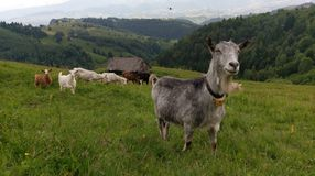 Herd Of Goats In Romania Royalty Free Stock Photography
