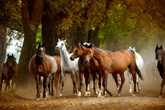 Free Herd Of Horses On The Village Road Stock Photo - 41128500