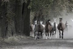 Free Herd Of Horses On The Village Road Royalty Free Stock Photos - 41298058