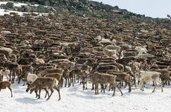 Herd Of Reindeers Royalty Free Stock Image
