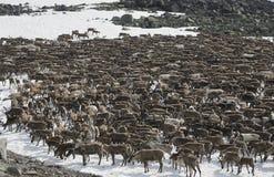 Herd Of Reindeers Royalty Free Stock Photos