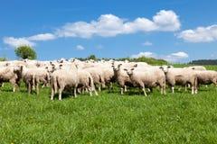 Herd Of Sheep Royalty Free Stock Image