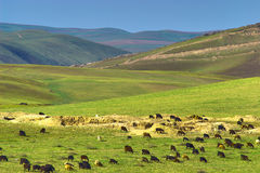 Herd Of Sheep In Mountains Royalty Free Stock Photos