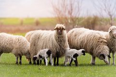 Herd Of Sheep On Pasture - Meadow In Spring Stock Photo