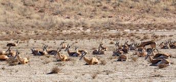 Free Herd Of Springbok Royalty Free Stock Photos - 52078168