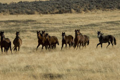 Herd Of Wild Horses Royalty Free Stock Photo