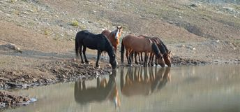 Herd Of Wild Horses Reflecting In The Water While Drinking At The Waterhole In The Pryor Mountains Wild Horse Range In Montana USA Royalty Free Stock Image