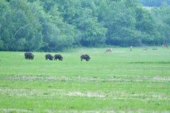 Herd Of Wildboar On The Meadow Royalty Free Stock Image