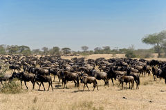 Herd Of Wildebeests In Tanzanian Serengeti. Wildebeests In The Wild. Herd Of Gnus In African Savanna. Royalty Free Stock Photos
