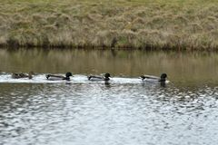Herd Of Wildlife Mallard And Ducks Swimming And Settling On The Water Stock Photo
