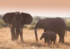 Herd ofelephant in Amboseli National park stock photos