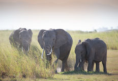 Herd ofelephant in Amboseli National park stock image