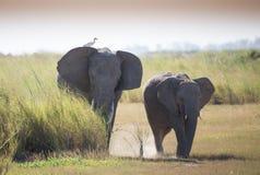 Herd ofelephant in Amboseli National park stock images