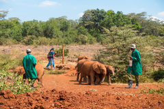 Herd of orphaned baby elephants following carers in Nairobi stock images