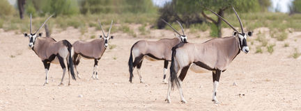 Herd of oryx standing on a dry plain looking Royalty Free Stock Photo