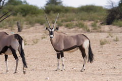 Herd of oryx standing on a dry plain looking Stock Photos