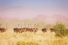 Herd of ostriches running in haze at savannah Royalty Free Stock Photo