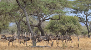 Herd of Ostriches 2 Stock Photos