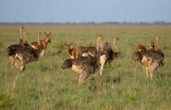 Herd ostrichs  in Tsavo National park Stock Photos
