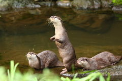 Herd of Otter. Otters are semi-aquatic (or in one case aquatic) fish-eating mammals. The otter subfamily Lutrinae  forms part of the family Mustelidae, which Royalty Free Stock Images