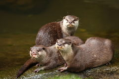 Herd of Otter. Otters are semi-aquatic (or in one case aquatic) fish-eating mammals. The otter subfamily Lutrinae  forms part of the family Mustelidae, which Stock Photo