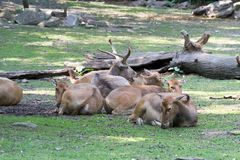 Herd of Père David's deer resting. Père David's deer is the only mammal extinct in the wild by alive in captivity Royalty Free Stock Photography