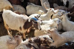 Herd of pashmina goats Stock Photo