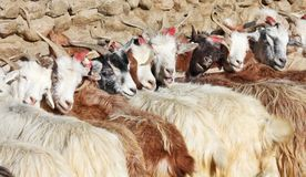 Herd of pashmina goats Royalty Free Stock Image