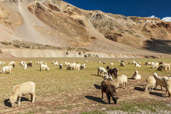 Herd of Pashmina sheep and goats in Himalayas. Himachal Pradesh, Stock Photo
