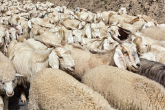 Herd of Pashmina sheep and goats in Himalayas Stock Images