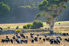 The herd at peace Royalty Free Stock Photos
