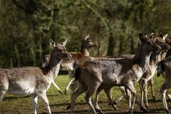 Fallow park deer in Bovey Castle grounds. Herd of peaceful grazing fallow deer on a cold March day royalty free stock photography