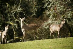 Fallow park deer in Bovey Castle grounds. Herd of peaceful grazing fallow deer on a cold March day stock images